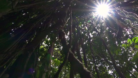 LOW ANGLE VIEW, CLOSE UP: Rooted woody climbing plants creeping up the trunk to reach sunlight. Sunbeams penetrating lush green canopy in primeval rainforest. Jungle vines hanging from banyan tree