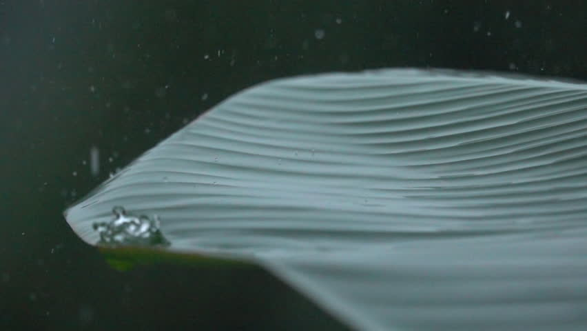 SLOW MOTION, MACRO CLOSE UP: Raindrops falling down on lush green banana palm leaf during heavy summer monsoon rainfall in jungle. Waterdrops washing leaves. Rain pouring on green plant in garden