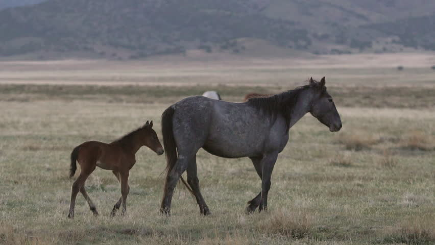 Mother horse walks through pasture as foal follows along side in herd. | Shutterstock HD Video #30102460