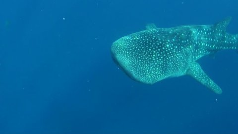 Whaleshark And Snorkeler