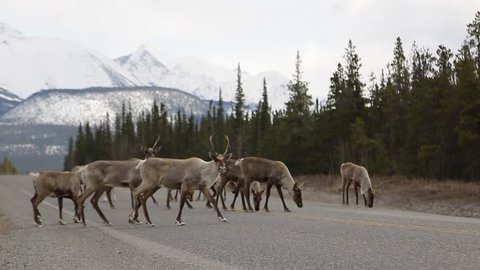 Group of Caribou crossing the Alaska Highway