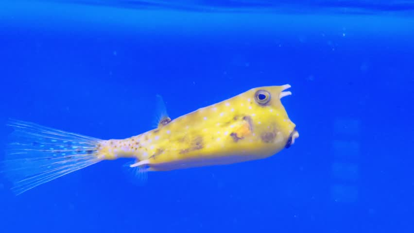 Longhorn cowfish, Lactoria cornuta, also called horned boxfish, is variety of boxfish from family Ostraciidae, recognizable by its long horns that protrude from front of its head, those of cow or bull.