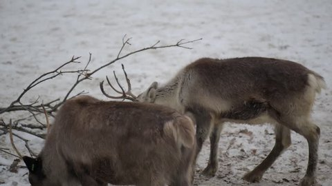 Reindeer (Rangifer tarandus), also known as caribou in North America, is species of deer with circumpolar distribution, native to arctic, subarctic, tundra, boreal, and mountainous regions of north.