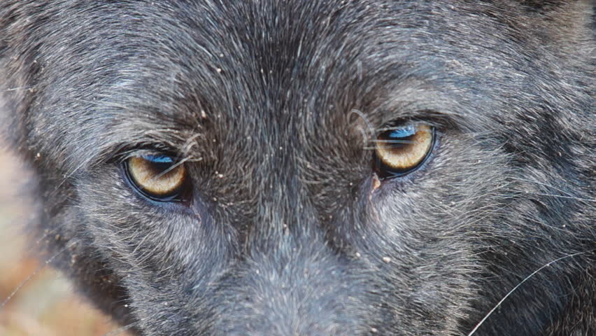 Rare Black Coyote, (Canis latrans) is a wild canine of North and Central