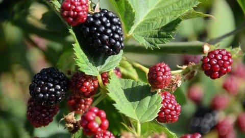 Blackberries on tree in orchard. Organic blackberries  farm