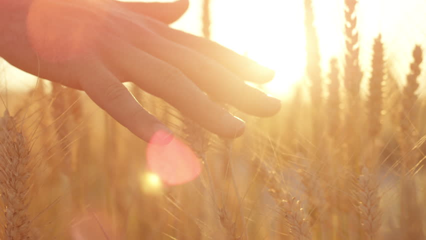 SLOW MOTION CLOSE UP LENS FLARE: Male hand touching beautiful wheat plants at gorgeous golden light sunrise. Man caressing crops growing on organic farm in Tuscany, Italy. Leaves swaying at sunset