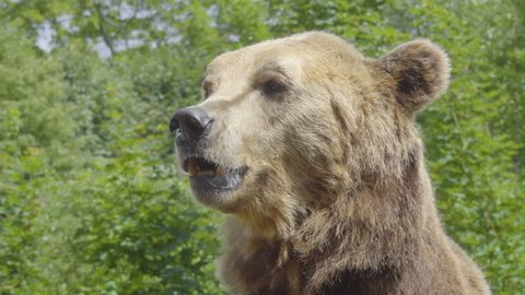 Brown Bear Close up Portrait. Eurasian brown bear (Ursus arctos arctos), also known as the European brown bear.