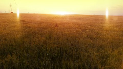 AERIAL long warm evening sunset fly over rye oats millet agriculture harvest field.