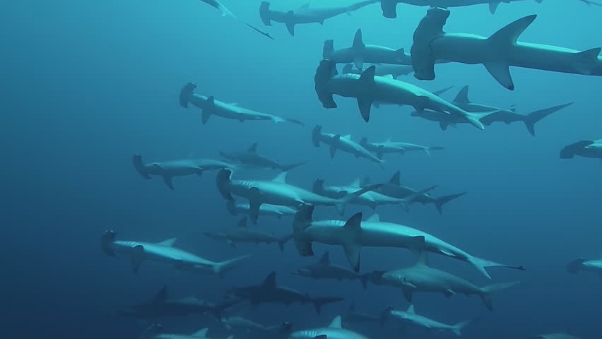 Header of hammerhead