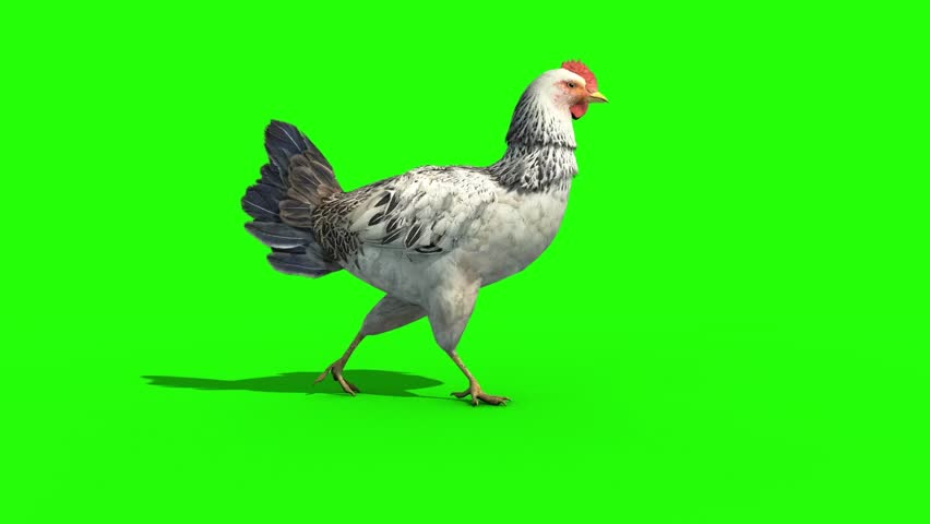 White Chicken Walkcycle Side Green Screen 3D Rendering Animation