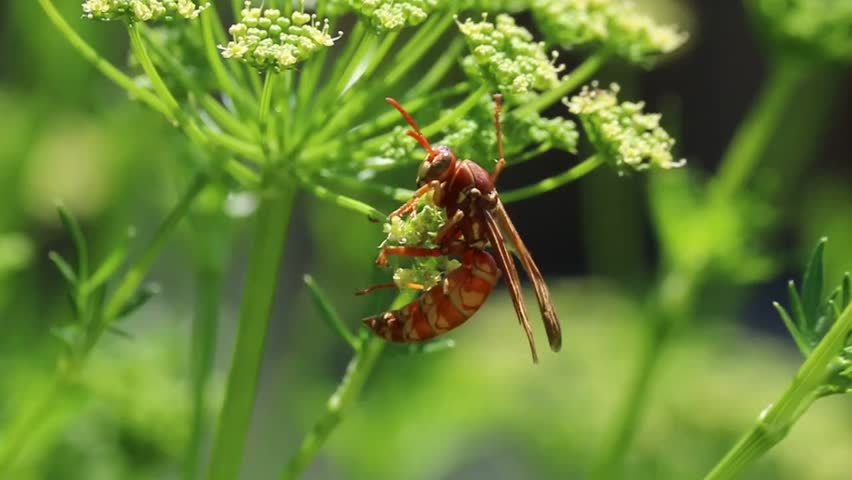 Wasp, a large wasp on a flower gathers pollen. | Shutterstock HD Video #30346132