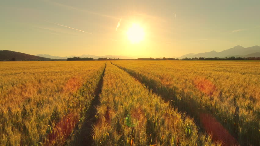 AERIAL, CLOSE UP: Flying above rutted road across beautiful golden wheat field in picturesque rural autumn landscape on sunny morning. Ripe plants on agricultural farmland at golden light sunrise | Shutterstock HD Video #30367219