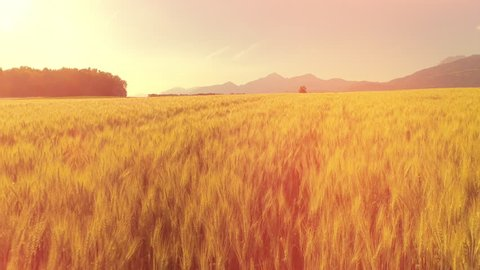 AERIAL, LENS FLARE: Gorgeous dry yellow wheat plants swaying in the wind on beautiful country farmland. Rye crop field swinging in gentle summer breeze. Picturesque landscape with high rocky mountains