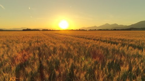 AERIAL CLOSE UP Flying above rutted road across beautiful golden wheat field in picturesque rural autumn landscape at dreamy sunset. Ripe barley plants on agricultural farmland at golden light sunrise