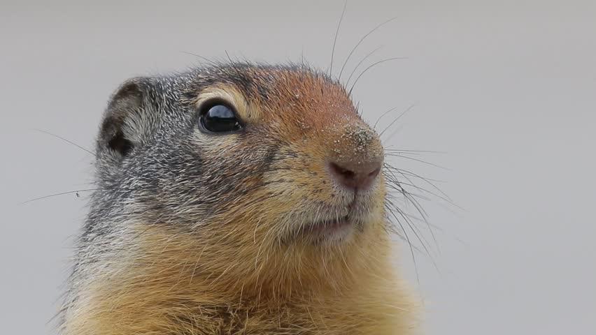 Gopher Ground Squirrel DOF