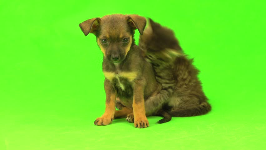 kitten and puppy are isolated on green screen #30406252