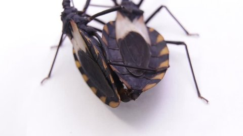Two copulating kissing bugs in laboratory conditions. Famous human life threatening bug transmitting the fatal Chagas disease all over Latin and south America continent