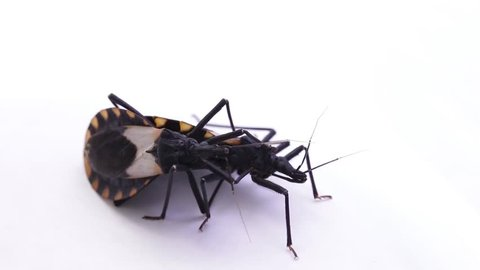 Two copulating kissing bugs in laboratory conditions. Famous human life threatening bug transmitting the fatal Chagas disease all over Latin and south America