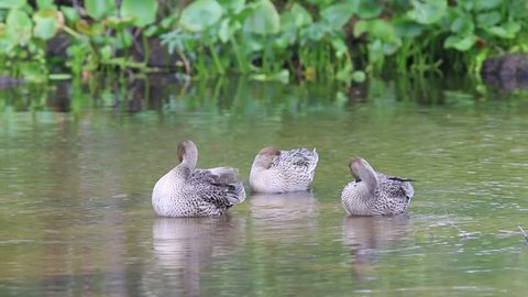 Anas acuta. Three Pintail ducks floating on the water on the Yamal Peninsula