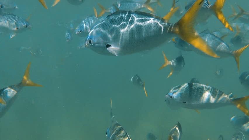 A wide shot of zebra skinned fish underwater   Shutterstock HD Video #30539422