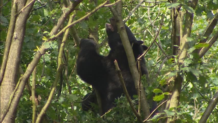 Asian black bear  (Ursus thibetanus) in tree - foraging