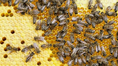 Honey, bees and larvae on a frame in a bee hive.
