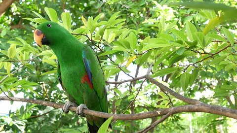 Bird of tropical rain forest large green parrot. Colorful Eclectus Parrot.