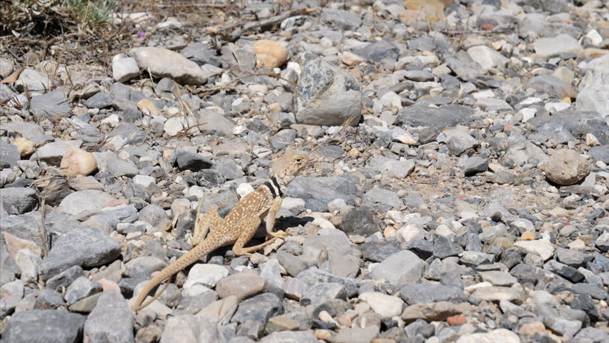 Collared lizard in Red Rock Canyon National Conservation Area near Las Vegas | Shutterstock HD Video #30628579