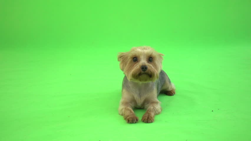 Funny yorkshire terrier talking on a green background