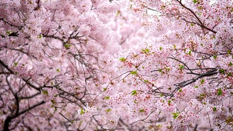 Blooming sakura cherry blossom background in spring, South Korea