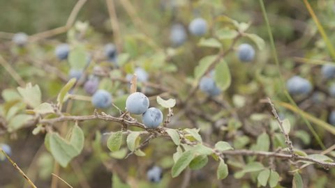Tiny blue berries of Prunus spinosa fruit slow motion 1080p FullHD footage - Blackthorn sloe shrub natural food slow-mo 1920X1080 HD video