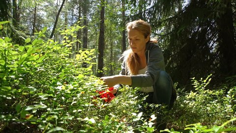 Woman picking wild berries using a special harvester in national park forest in Finland