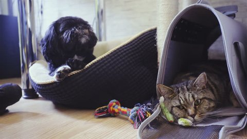 Cat and dog resting together 4K. Dolly slide of cute cat and black dog in focus while lying at home. British cat inside the transport bag.