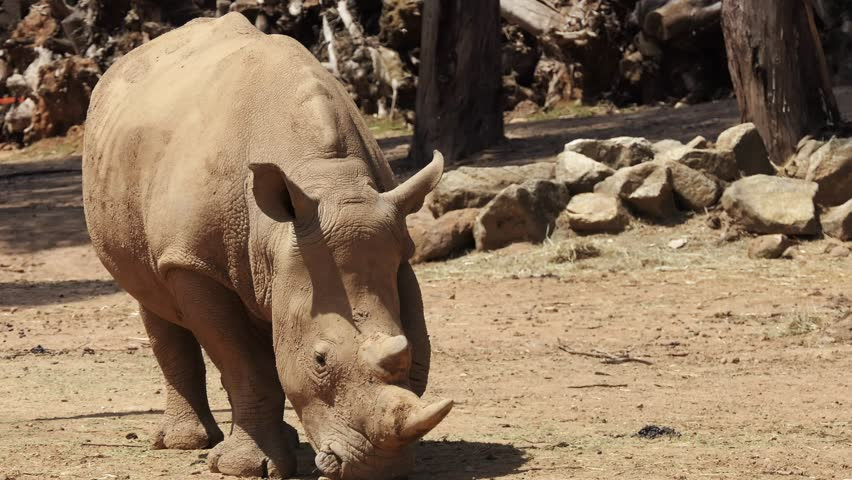 White rhinoceros or square-lipped rhinoceros (Ceratotherium simum) is largest extant species of rhinoceros. It has a wide mouth used for grazing and is most social of all rhino species. | Shutterstock HD Video #30757672