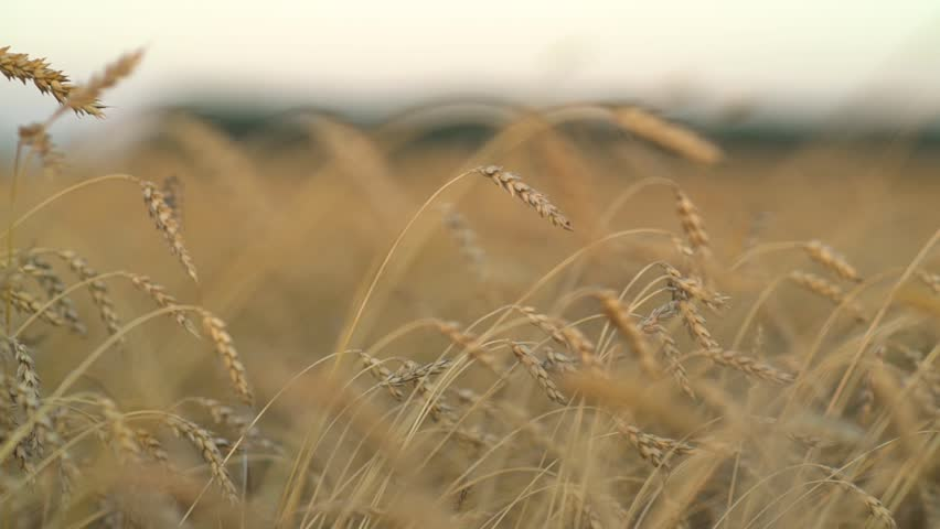 soft wheat background chaff stock footage video shutterstock