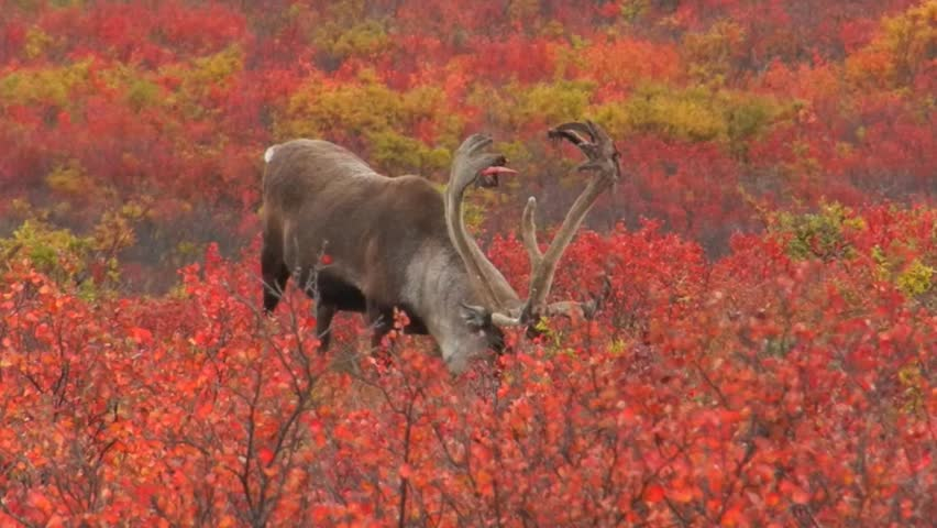 A Caribou Bull (Rangifer tarandus) with antlers shedding velvet forages in the fall tundra of dwarf birch and willow, Denali National Park, Alaska.