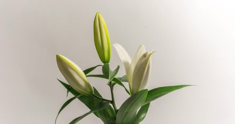 Blooming white lily flower buds  (Lilium Samur), timelapse footage. Close up, macro.