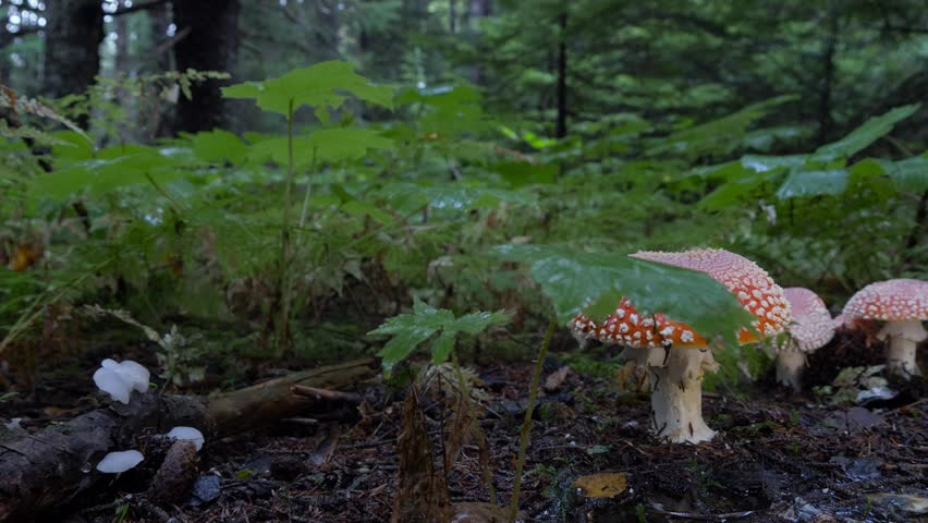 Amanita Muscaria Fairy Mushroom Low Slide in Wet Forest