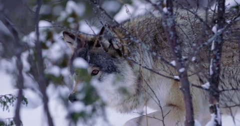 Magnificent wolf at a distance passing by in beautiful winter forest