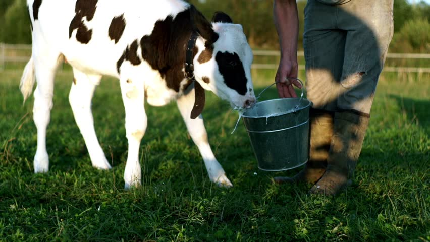 Calf drinking cows milk from bucket. Farmer calf feeding with milk from bucket. Close up young calf on dairy farm. Cows breeding at rural farming. Livestock feed
