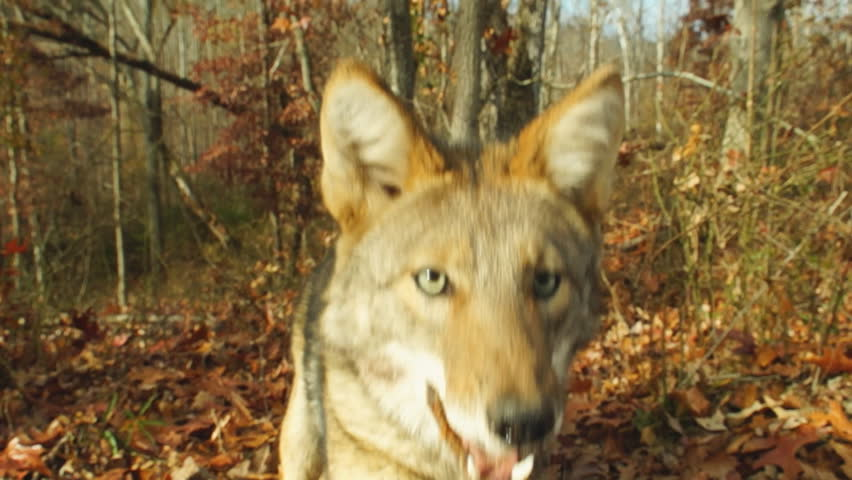 Coyote viciously attacks camera in Georgia, slow-motion, 1/2 natural speed
