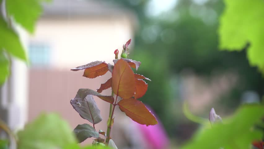 Rose in a rainy day at Temple City, Los Angeles, California, U.S.A. | Shutterstock HD Video #30987817