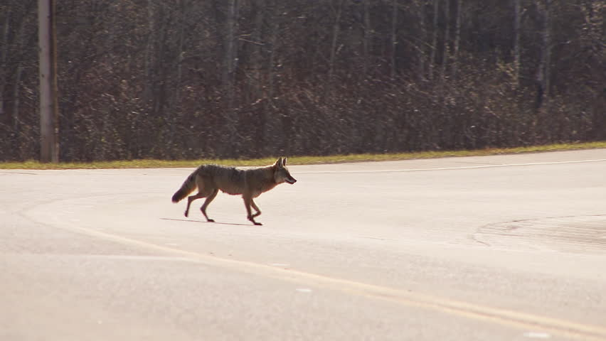 A wary coyote crosses a road in British Columbia, Canada.