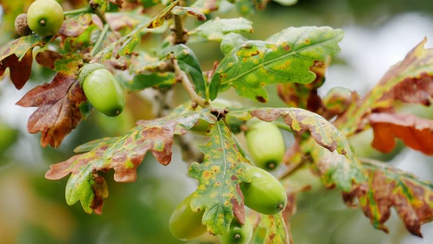 green acorns on oak tree