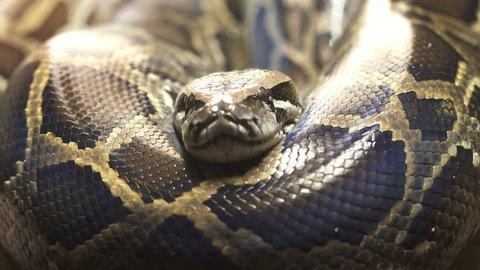 Thai python snake, head close up.