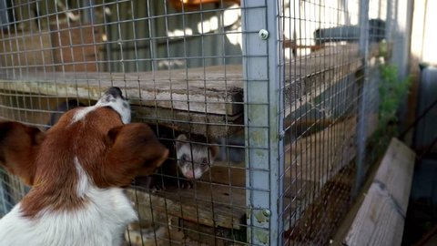 Hunting dog attacking european polecat in cage. Close up jack russell terrier barking at european polecat in cage