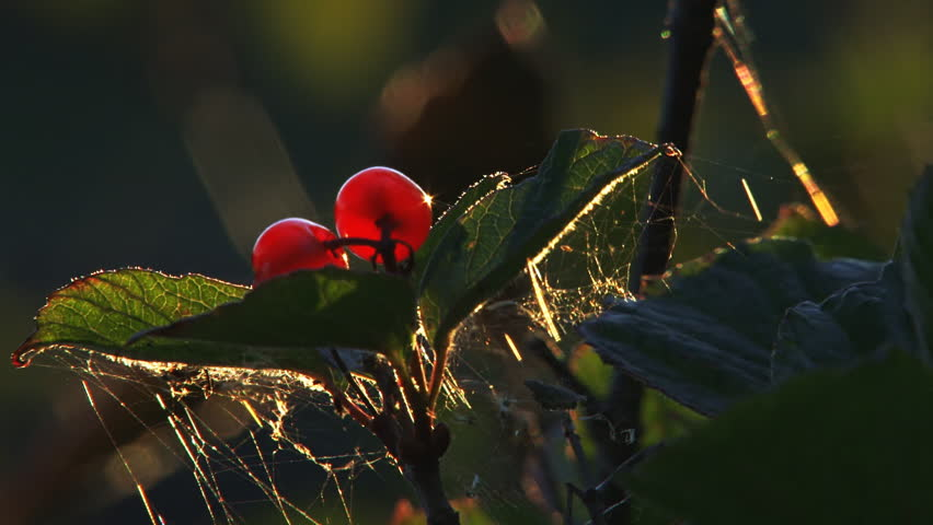Very tight shot of ripe high bush cranberries glowing in evening light, with a