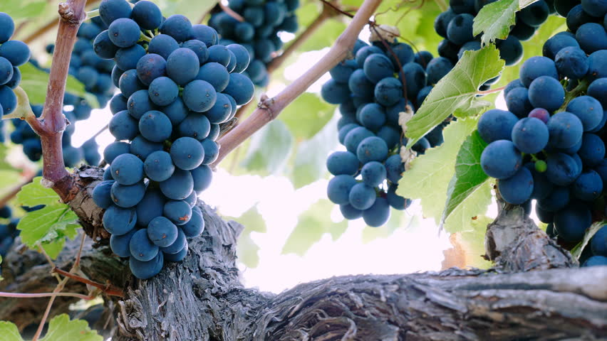 close up portrait on purple grapes in vineyard- South of Italy