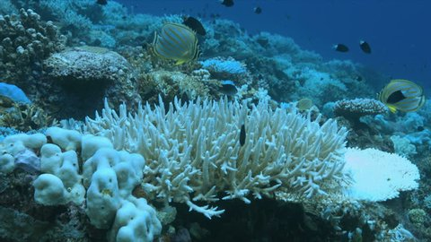 A coral reef dies Coral bleaching on Apo Reef, Philippines May 2016