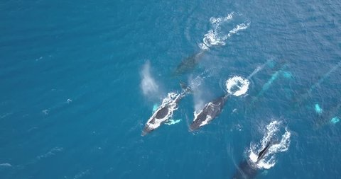Pacific ocean scenery. Big pod of humpback whales traveling in blue water near surface. Marine animals in nature. Wildlife footage shoot from air